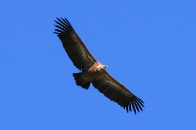 A Griffon Vulture (Gyps Fulvas) flying close overhead