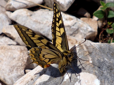 Swallowtail butterfly near summit of Montgo