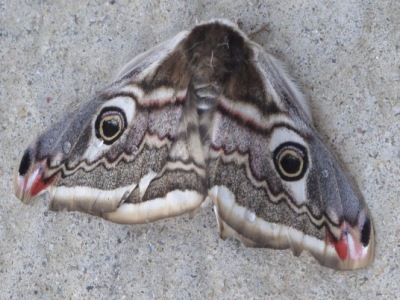Emperor moth seen in the Spanish Pyrenees