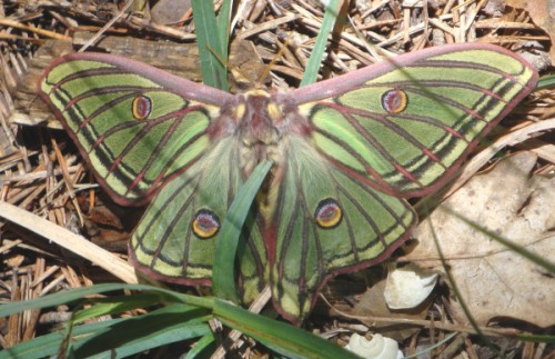 Spanish Moon Moth