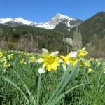 Wild daffodils - narcissus pseudonarcissus
