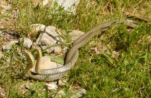 A pair of courting Green Whip snakes