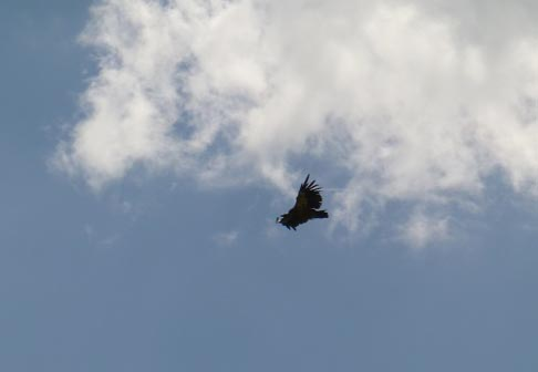 A Griffon Vulture (Gyps fulvus) circling high above us.