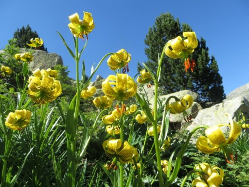 A magnificent display of Pyrenean lilies - one of my favourite
