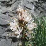 White Asphodel - Asphodelus Albus