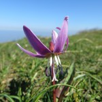 Dogs tooth violet - Erythronium dens-canis