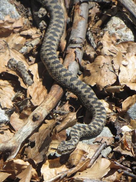 Asp viper seen by the Rio Aguas Limpias