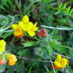 Alpine Birdsfoot-trefoil - Lotus Alpinus