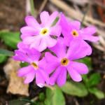 Birds Eye Primrose - Primula farinosa