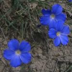 Blue Flax - Linum Narbonense