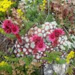 Cobweb Houseleek - Sempervivum Arachnoideum