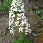 Pyrenean saxifrage - (Corona del Rey) Saxifraga longifolia