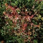 Dodder - Cuscuta epithymum