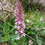 Fragrant Orchid - Gymnadenia Conopsea
