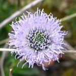 Globe Daisy - Globularia nudicaulis