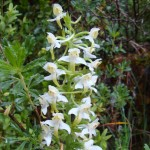 Greater Butterfly Orchid - Platanthera Chlorantha