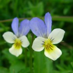 Heartsease - Viola tricolor