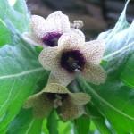 Henbane - Hyoscyamus niger