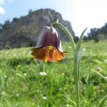 Pyrenean Snakeshead Fritillary - Fritillaria pyrenaica