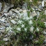 Edelweiss in Ordesa