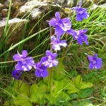 Large flowered butterwort - Pinguicula grandiflora - Grasilla