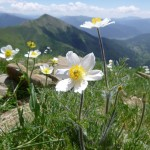 Alpine Pasque flower - Pulsatilla alpina