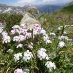 Alpine rock jasmine - Androsace alpina