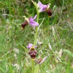A great find - Woodcock Orchid