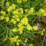 Biting stonecrop - Sedum acre