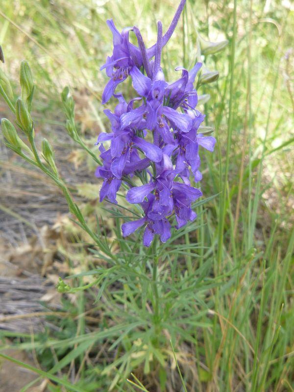 Mountain larkspur - Delphinium montanum