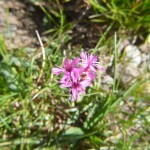 Pyrenean catchfly - Silene borderei