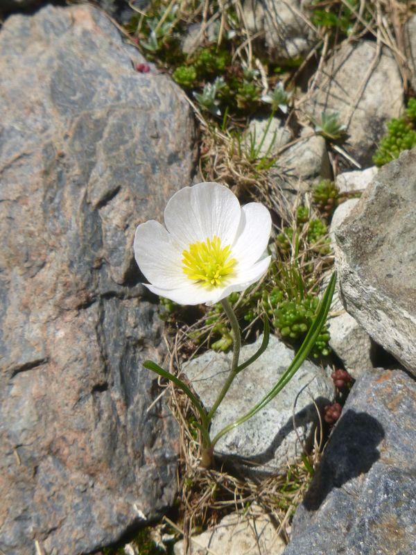 Pyrenean buttercup - Ranunculus pyrenaeus