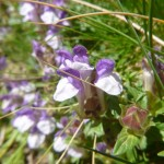 Alpine skull cap - Scutellaria alpina