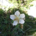 Alchemilla - leaved cinquefoil - Potentilla alchimilloides
