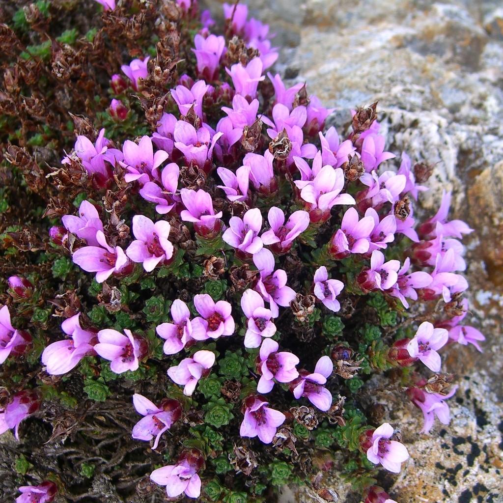 Purple saxifage - Saxifraga oppositifolia