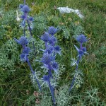 Alpine Sea Holly - Eryngium alpinum