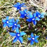 Spring Gentian - (Gentiana verna) Genciana de Primavera