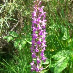 Marsh Orchid - Dactylorhiza Elata