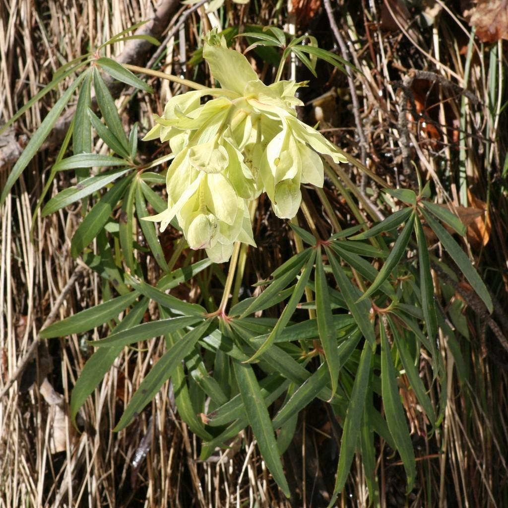 Stinking Hellebore - Helleborus Foetidus