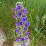 Viper's Bugloss - Echium vulgare - Viborera