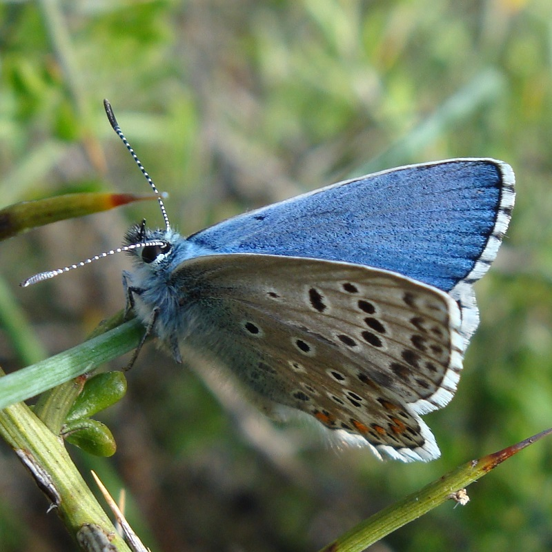 Adonis Blue - Lysandra bellargus