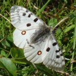 Apollo - Parnassius apollo