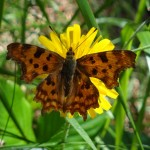 Comma - Polygonia c-album