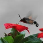 Hummingbird Hawkmoth - Macroglossum stellatarum