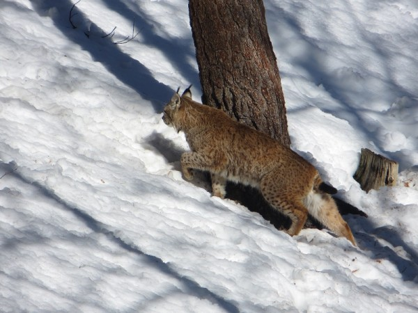 The European Lynx -Lynx lynx