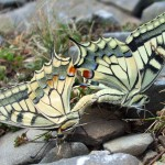 Mating Swallowtails - Papilionidae