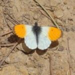 Orange Tip - Anthocharis cardamines