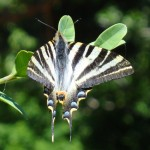 Scarce Swallowtail - Iphiclides podalirius