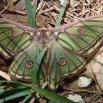 Spanish Moon Moth - Graellsia isabellae