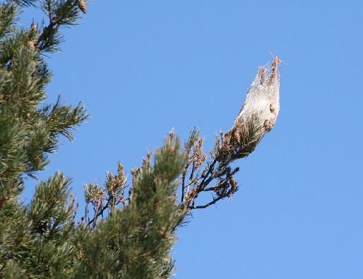 Pine Processionary Caterpillar - Thaumetopoea pityocampa